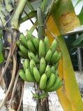 Grupp för gräsplan för bananträd av frukt Arkivbilder