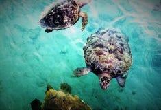 Grupp för havssköldpadda Royaltyfria Bilder