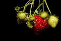 Grupp för trädgårds- jordgubbar Royaltyfri Fotografi