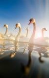 Grupp på svanar arkivfoto
