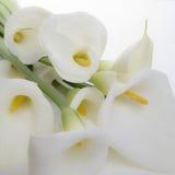 gruppcala lilja Royaltyfria Bilder