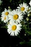 gruppchamomilas Royaltyfria Bilder