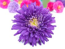 gruppchrysanthemum fotografering för bildbyråer