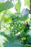 gruppdruvor green unripe Royaltyfria Foton