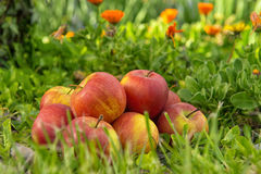 Gruppe Äpfel im Gras, nahe einem Baum Stockbilder