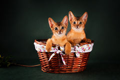 Gruppe abyssinische Katzen auf dunkelgrünem Hintergrund Lizenzfreies Stockfoto