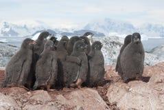 Gruppe Adelie-Pinguinküken. Stockfotos