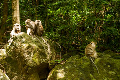 Gruppe Affen auf Felsen Lizenzfreie Stockbilder