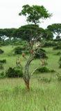 Gruppe Affen, die auf einem großen Baum auf dem Savannenhintergrund im Park Murchison Falls stillstehen Lizenzfreie Stockfotografie