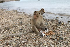 Gruppe Affen am Mittagessen Stockbild