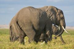 Gruppe Afrikaner-Bush-Elefanten Stockfotografie