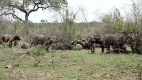 Gruppe afrikanische Büffel stock video footage