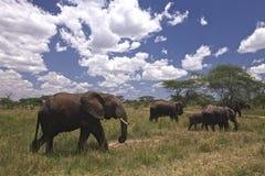 Gruppe afrikanische Elefanten Stockfotos