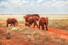 Gruppe afrikanisches Buschelefanten Loxodonta africana Rot von DU stockfoto