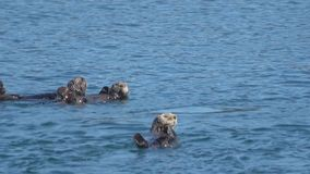 Gruppe alaskische Seeotter stock footage