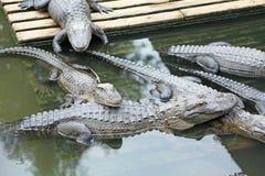 Gruppe Alligatoren Stockfotos