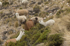 Gruppe Alpaka weiden lassend Stockbilder