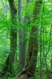 Gruppe alte Bäume im Sommerwald Stockfotos