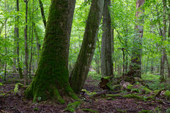 Gruppe alte Bäume im Sommerzeitstand Stockfotografie