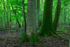 Gruppe alte Bäume im Sommerzeitstand Lizenzfreie Stockfotos