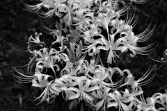 Gruppe amaryllisLycoris radata/Lilie der roten Spinne Stockbild