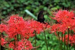 Gruppe amaryllisLycoris radata/Lilie der roten Spinne Stockfotografie