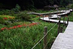 Gruppe amaryllisLycoris radata/Lilie der roten Spinne Stockfoto