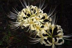 Gruppe amaryllisLycoris radata/Lilie der roten Spinne Lizenzfreie Stockbilder