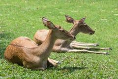 Gruppe Antilopenrotwild, die auf dem Gras sitzen Stockbilder