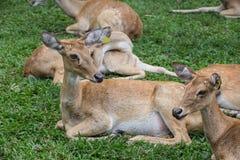 Gruppe Antilopenrotwild, die auf dem Gras sitzen Stockbild