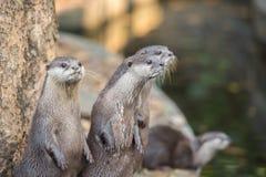 Gruppe Asiat Klein-gekratzte Otter Stockfotografie