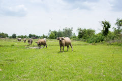 Gruppe Büffel auf dem grünen Feld Stockfotografie