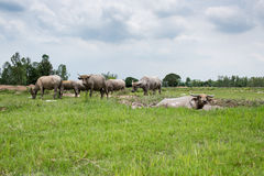 Gruppe Büffel auf dem grünen Feld Lizenzfreies Stockfoto
