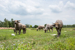 Gruppe Büffel auf dem grünen Feld Lizenzfreie Stockbilder