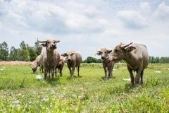 Gruppe Büffel auf dem grünen Feld Stockfotos