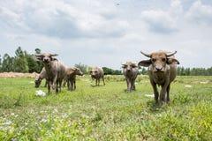 Gruppe Büffel auf dem grünen Feld Stockbilder