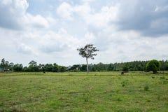 Gruppe Büffel auf dem grünen Feld Lizenzfreie Stockfotos