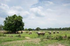 Gruppe Büffel auf dem grünen Feld Lizenzfreie Stockfotografie