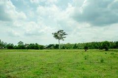 Gruppe Büffel auf dem grünen Feld Stockfoto