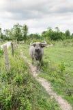 Gruppe Büffel auf dem grünen Feld Stockbild