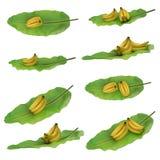 Gruppe Bananen gesetzt auf das Bananenblatt lokalisiert auf weißem Hintergrund Verschiedene Ansichten lizenzfreie stockfotos