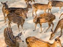 Gruppe beschmutzte Rotwild im natürlichen Lebensraum Lizenzfreie Stockfotos