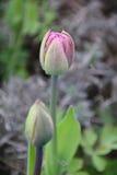 Gruppe blühende rote Tulpen Stockbild
