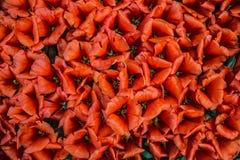 Gruppe blühende rote Tulpen von oben genanntem in der Nahaufnahme Stockfotografie