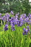 Gruppe blaue Irisblumen Lizenzfreie Stockbilder