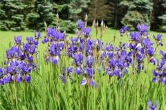 Gruppe blaue Irisblumen Stockfotos