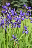 Gruppe blaue Irisblumen Stockfotografie