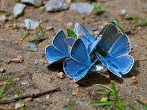 Gruppe blaue Schmetterlinge Stockbild