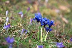 Gruppe blaue zwergartige Flaggen, Iris reticulata Stockbilder