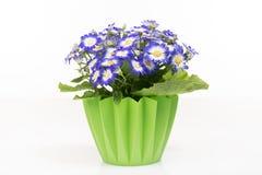 Gruppe blauer Cineraria in einem grünen Blumentopf lizenzfreies stockbild